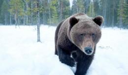 orso bruno sulla neve