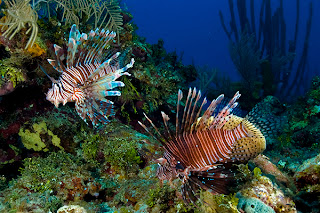 lionfish pictures