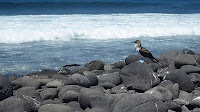 Blue Footed Boobie Enjoying North Seymour View