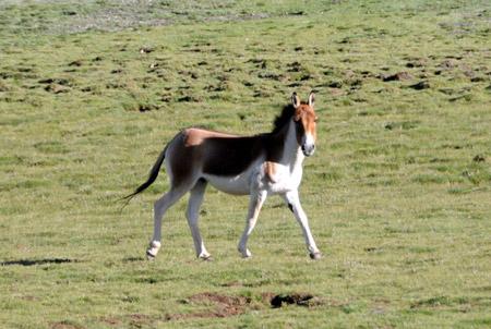 Kiang on Animal Classification