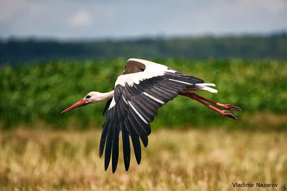The White Stork in Belarus