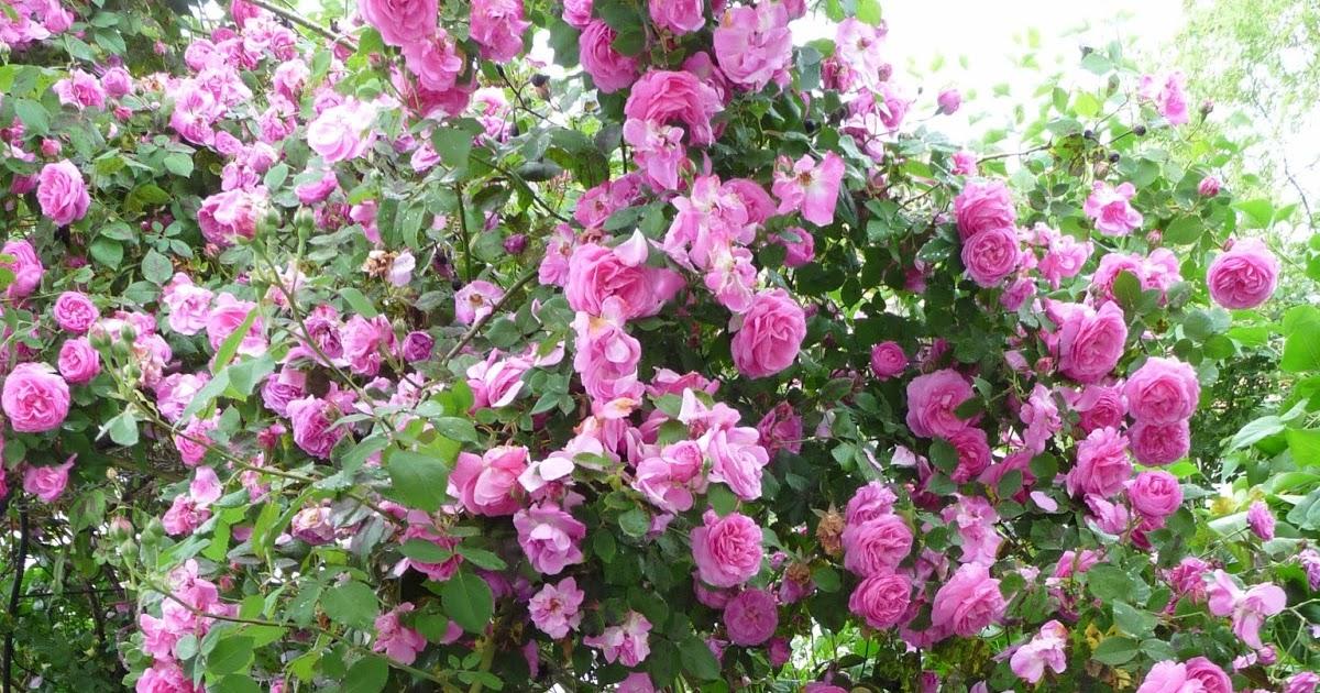 heavens ros cottage duft der rosen. Black Bedroom Furniture Sets. Home Design Ideas