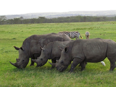 rinoceronte, animal africa, animals africa, animales africa, África, kenya