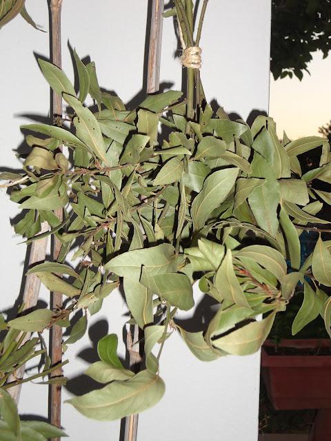 RAMOS DE LAUREL COLGADO PARA SECAR SUS HOJAS. LAUREL (Laurus nobilis)
