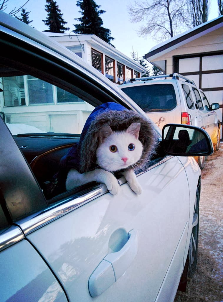 Funny cats - part 93 (40 pics + 10 gifs), cat wears coat in car