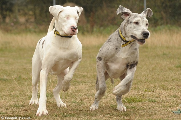 Cachorra cega e seu cão-guia aguardam adoção