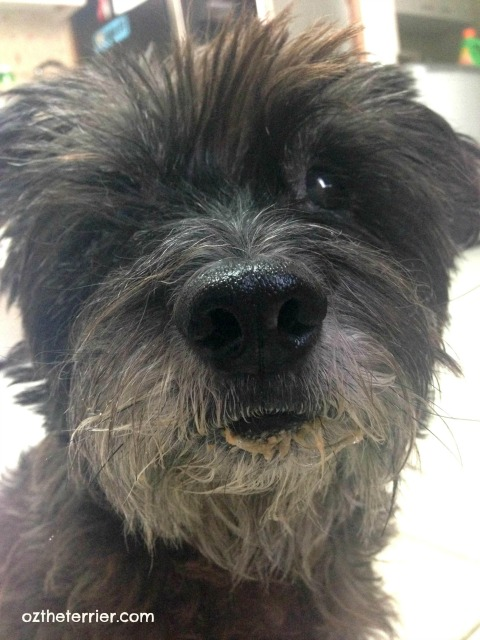 Oz the Terrier gets Bravo's Homestyle Complete freeze-dried dinner for dogs stuck in his beard