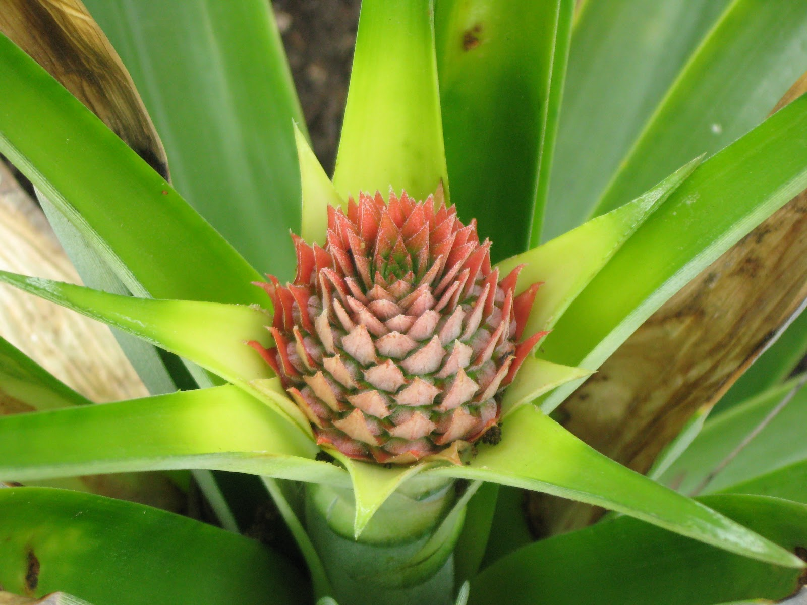 A home in the country pineapple plant for How do i plant a pineapple top
