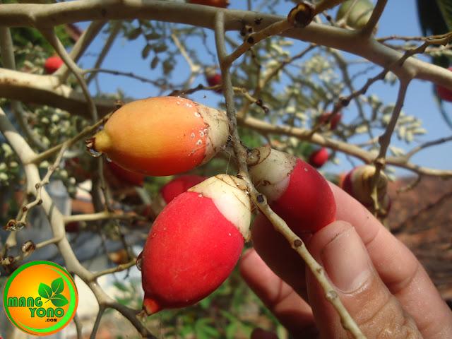 Ini Foto buah palem putri yang berwarna merah merekah
