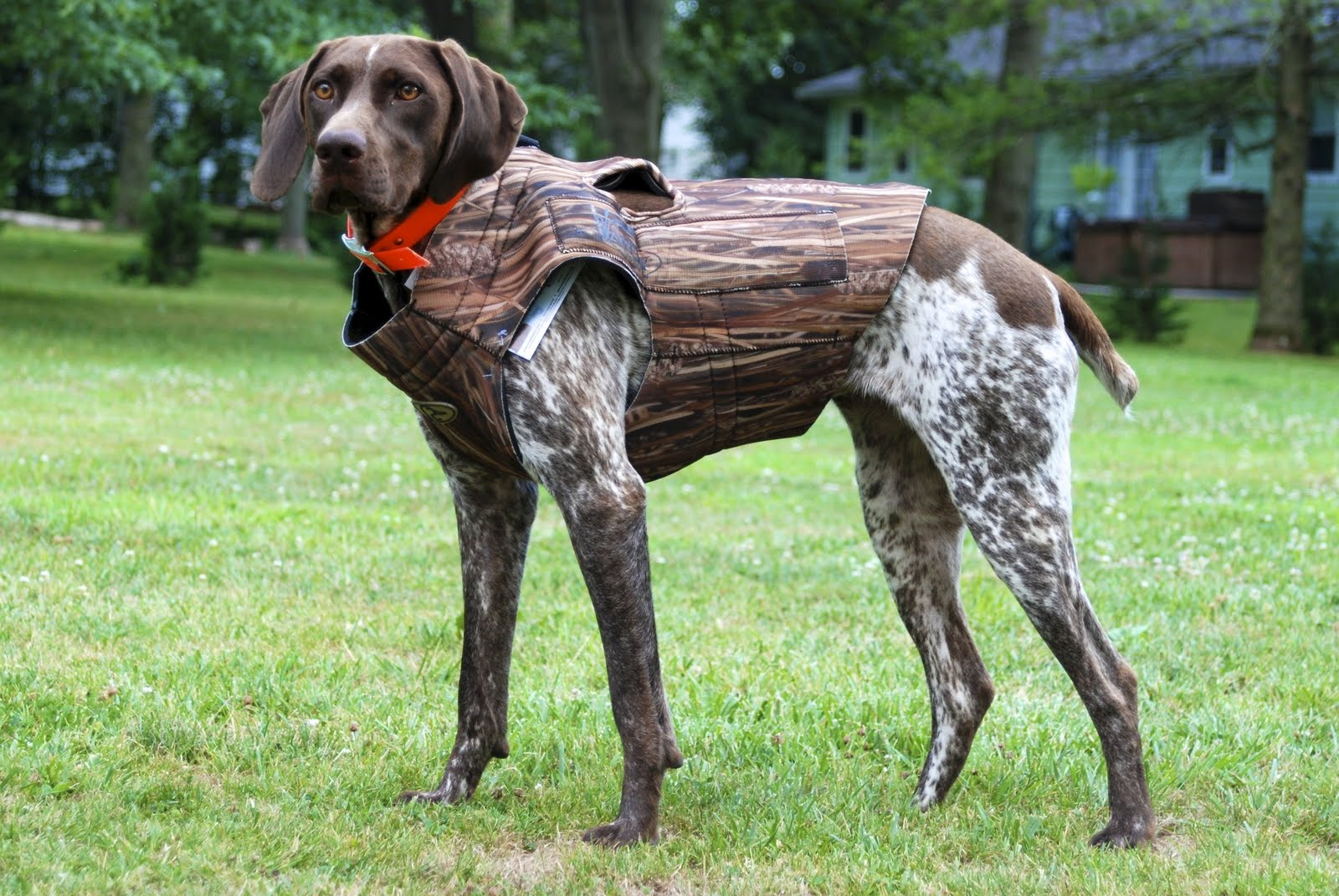 Training Hunting Dog Without Collar