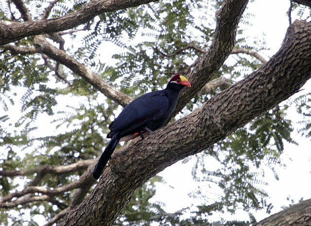 Violet Turaco in the Abuko Nature Reserve