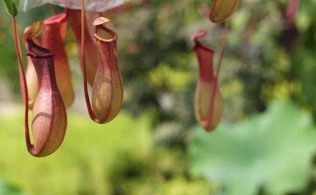 Pitcher Plant