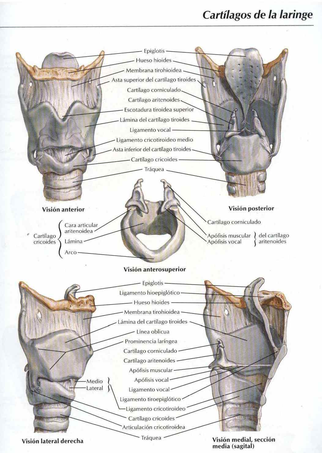 Atlas, anatomía: Cartílago de la laringe - Salud, vida sana, la ...