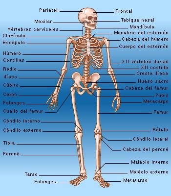 notas de laboratorio: Diagramas Sistema Muscular y Óseo