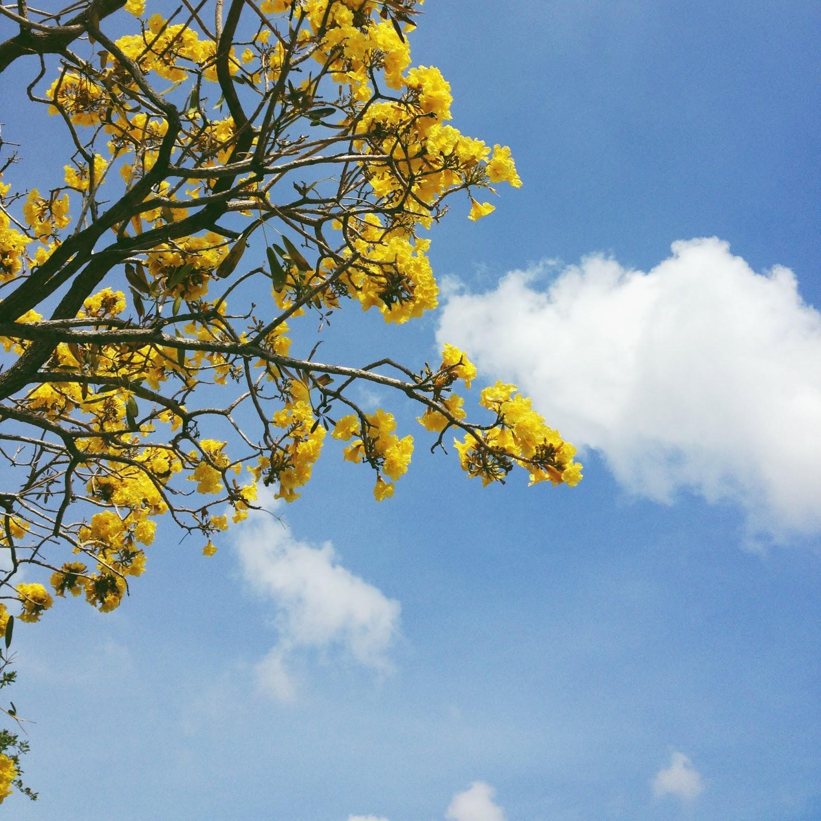 Flores Del Sol Trumpet Tree