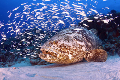 goliath-grouper-doug-kahle-underwater-photography