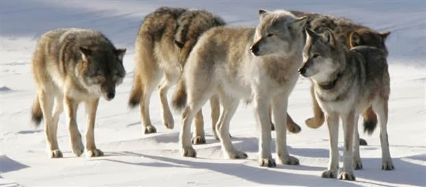 Ice bridge to Isle Royale impacts wolf population (Video)