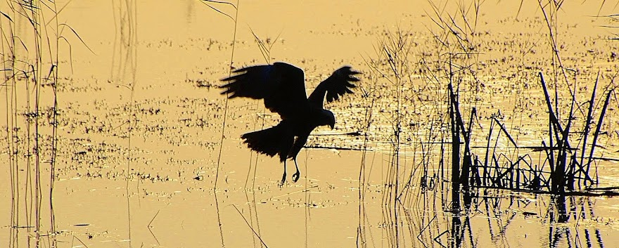 Dawn Marsh Harrier