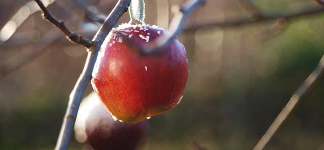 Naturlig julepynt til haven med røde æbler og snedrys af kokos