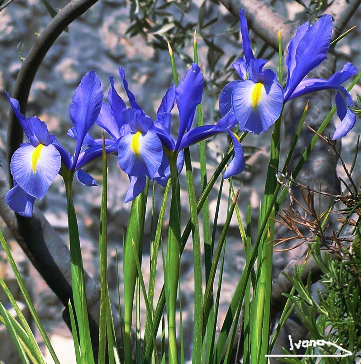 The france morning post 1 les fleurs de lys les fleurs for France fleurs