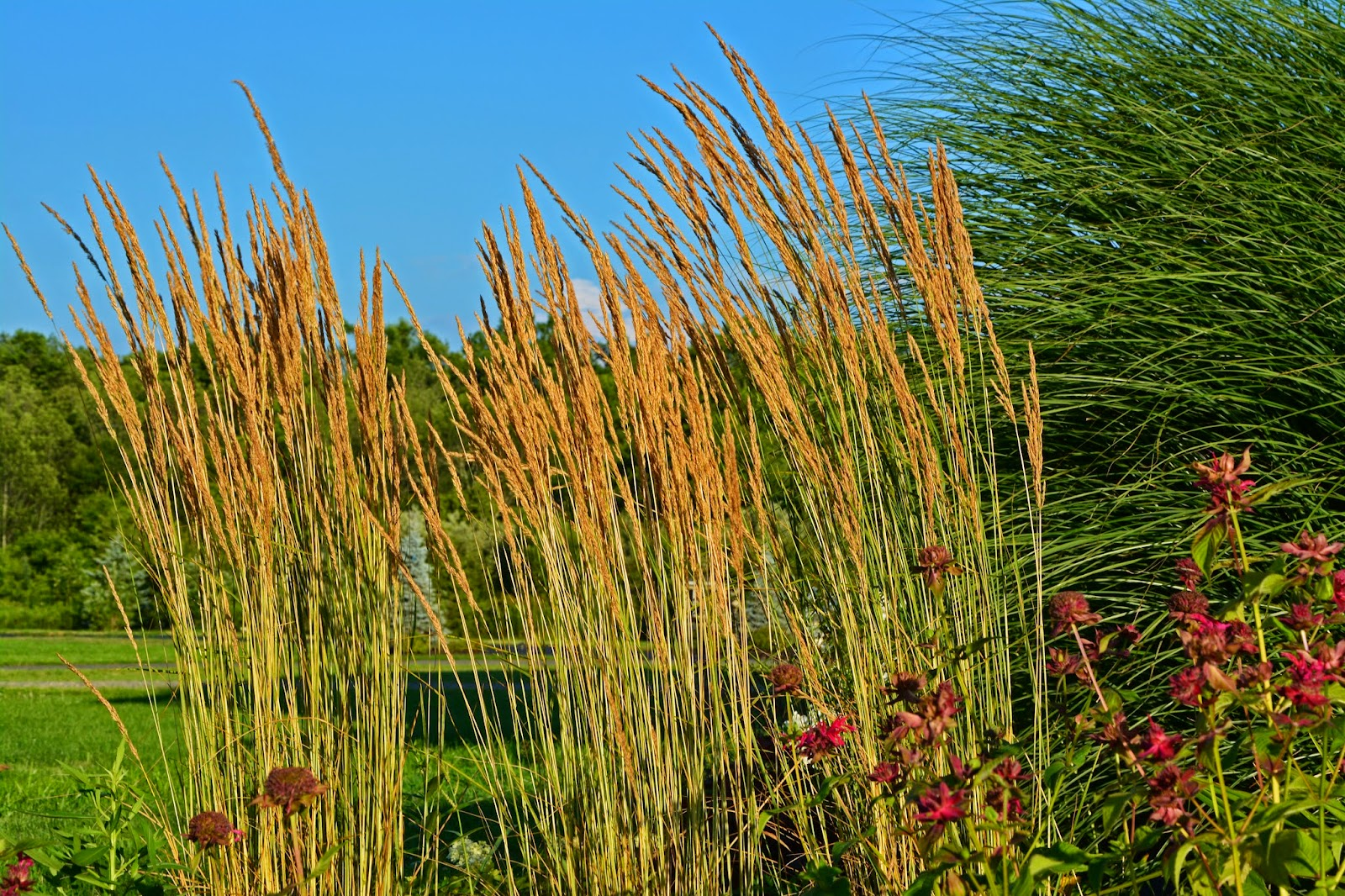Some ornamental grass reviews an obsessive neurotic gardener for Ornamental feather grass