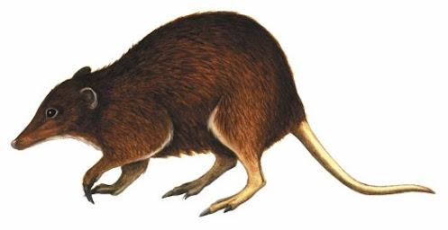 extinct marsupial Yarala