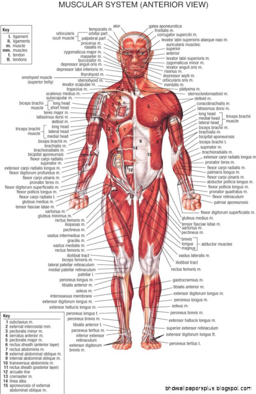 Back Muscles Anatomy Chart images