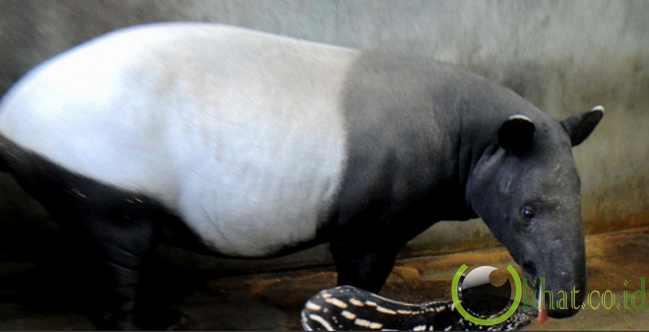 Tapir Sumatera