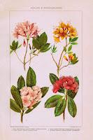 Antique Nature Illustration Printable - Azaleas and Rhododendrons via http://knickoftimeinteriors.blogspot.com/