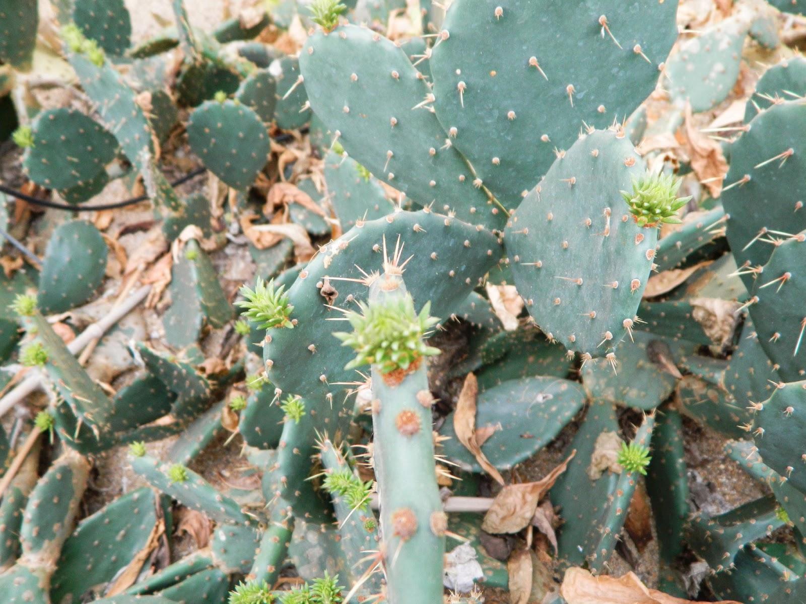 cactus budding