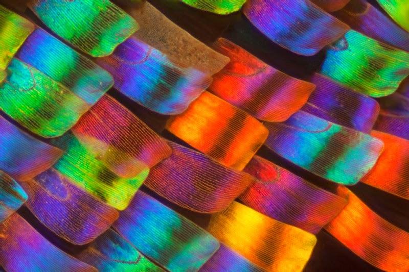 Des ailes de papillons vues de très près