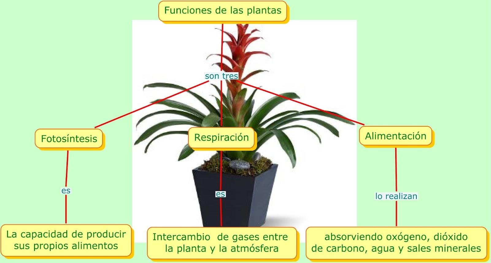 Plantas qu funciones cumplen las plantas for Funcion de las plantas ornamentales