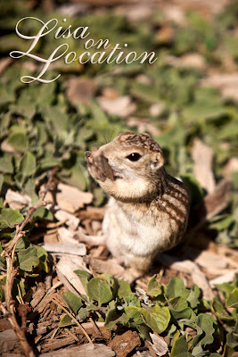 Mexican ground squirrel, Prairie Dog Town, Lubbock, New Braunfels photographer