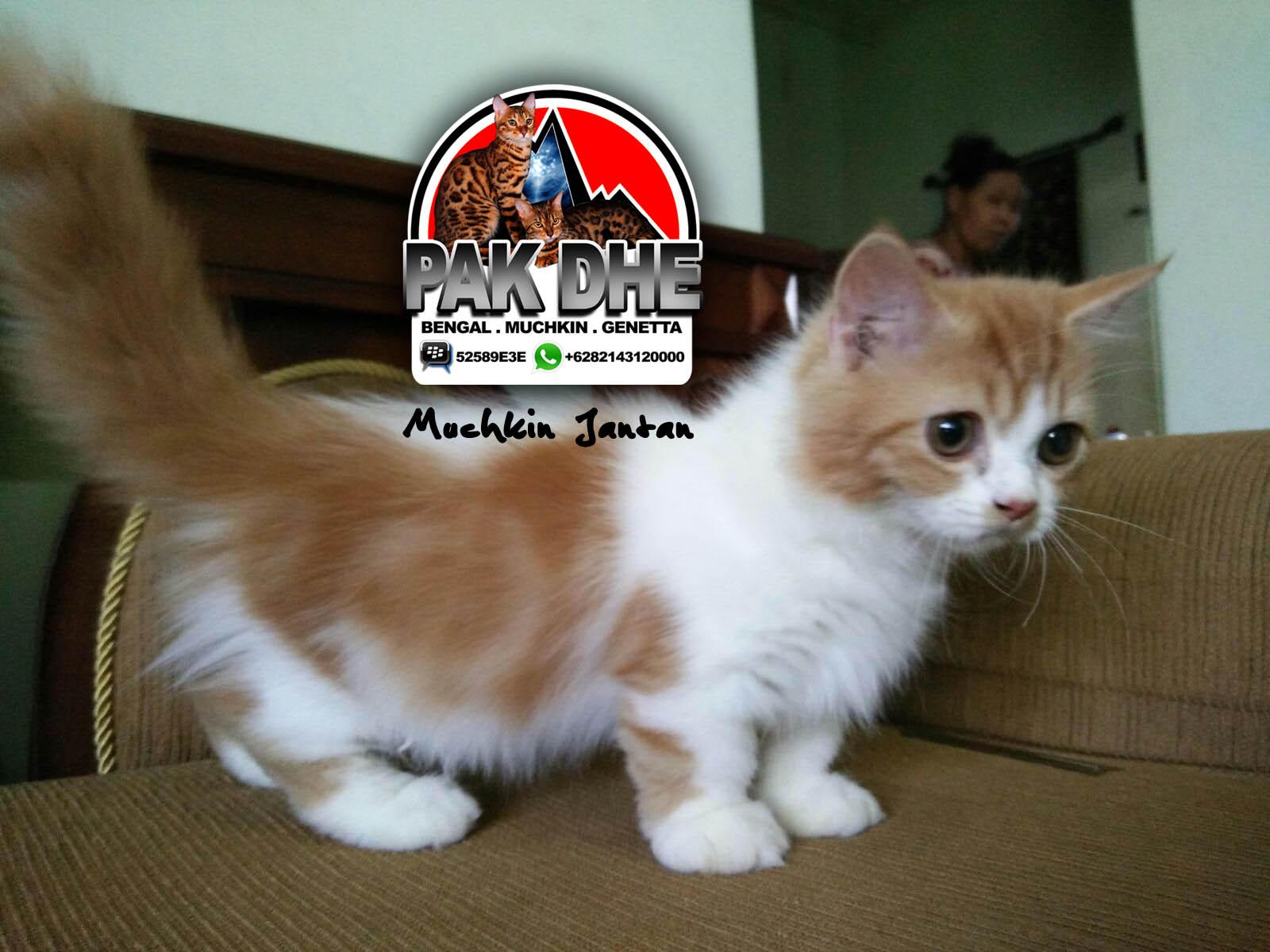 Jual Kucing Munchkin Surabaya Genetta Cat Indonesia