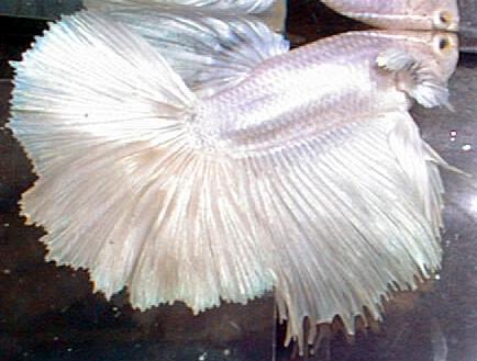 Khemem Botzsee: Budidaya ikan Cupang