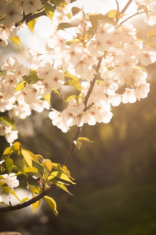 Cherry tree blossoms in Riga
