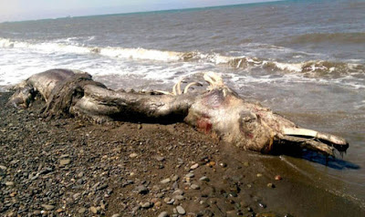 A mysterious sea creature washed up on a beach has a 'beak' and fur.