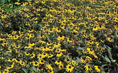 Beautiful Sunflower Widescreen Wallpaper 3