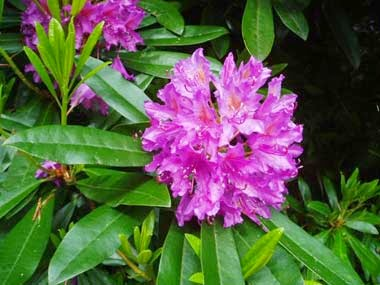 http://www.statesymbolsusa.org/West_Virginia/flower_rhododendron.html
