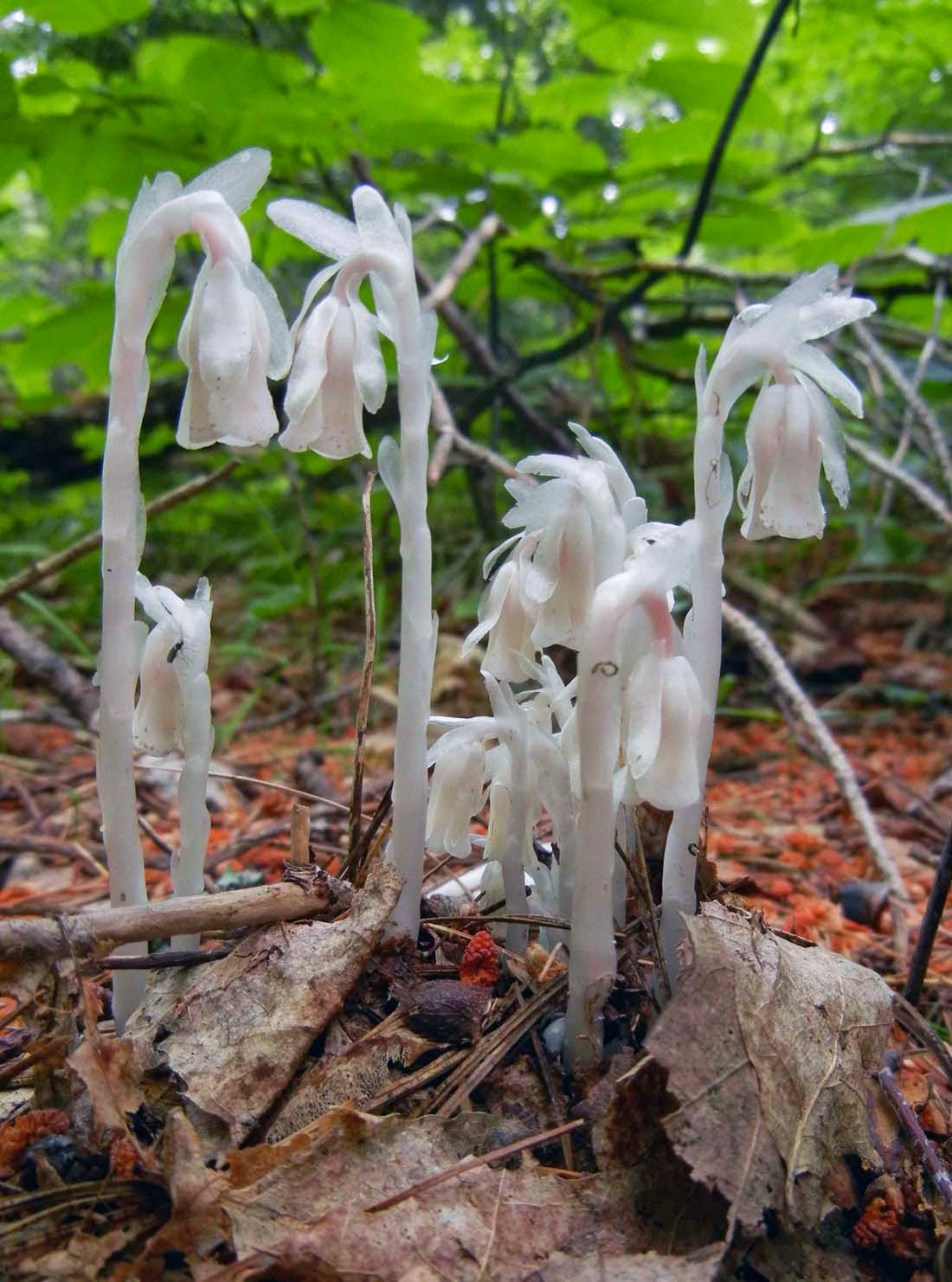 Sci Why The Ghost Plant Monotropa uniflora