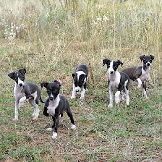 Italian Greyhound Dog Puppies