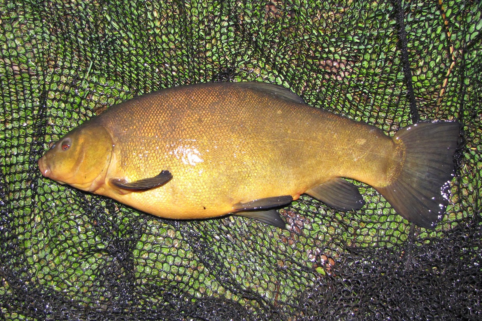Travelling Man: Tench in May