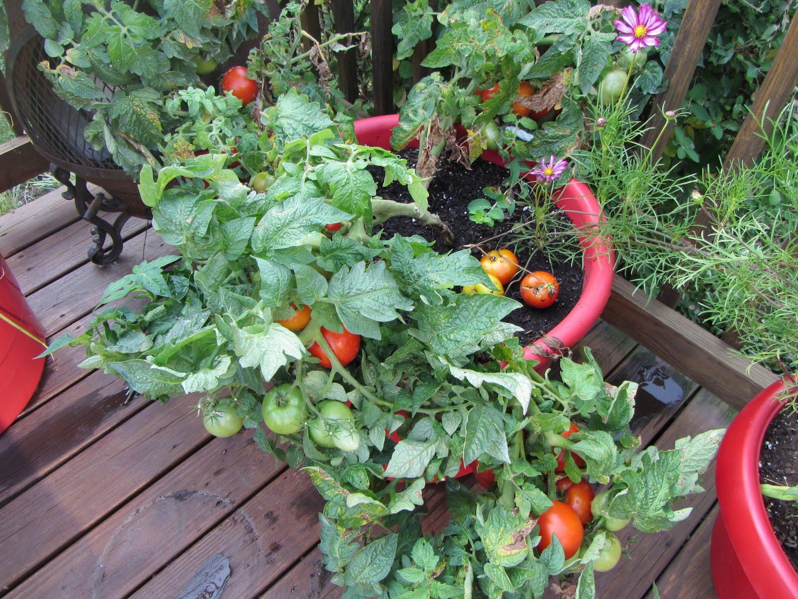 Tomato Profile: The U0027Patio F Hybridu0027 Dwarf Tomato