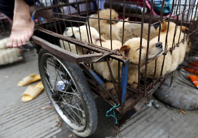 مهرجان أكل الكلاب في الصين