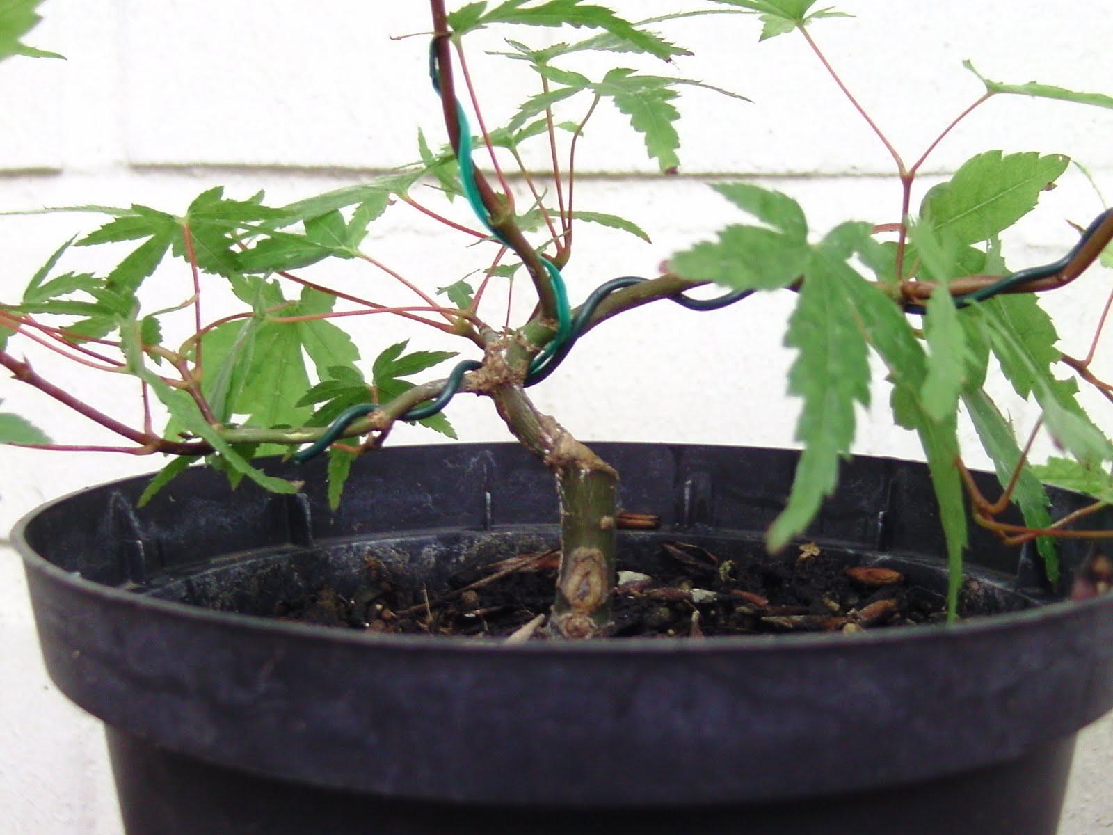 michaels bonsai blog. Black Bedroom Furniture Sets. Home Design Ideas