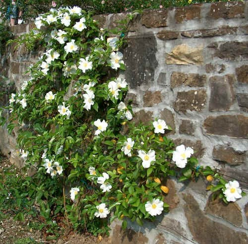 Progetto natura i rampicanti impiego e cure - Piante per coprire muri ...