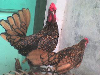 jual ayam batik canada super gold