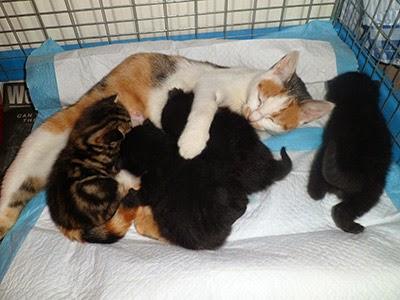 Foster cat Honey with her kittens