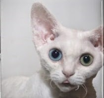 photo of white cat with 2 different color eyes magnet