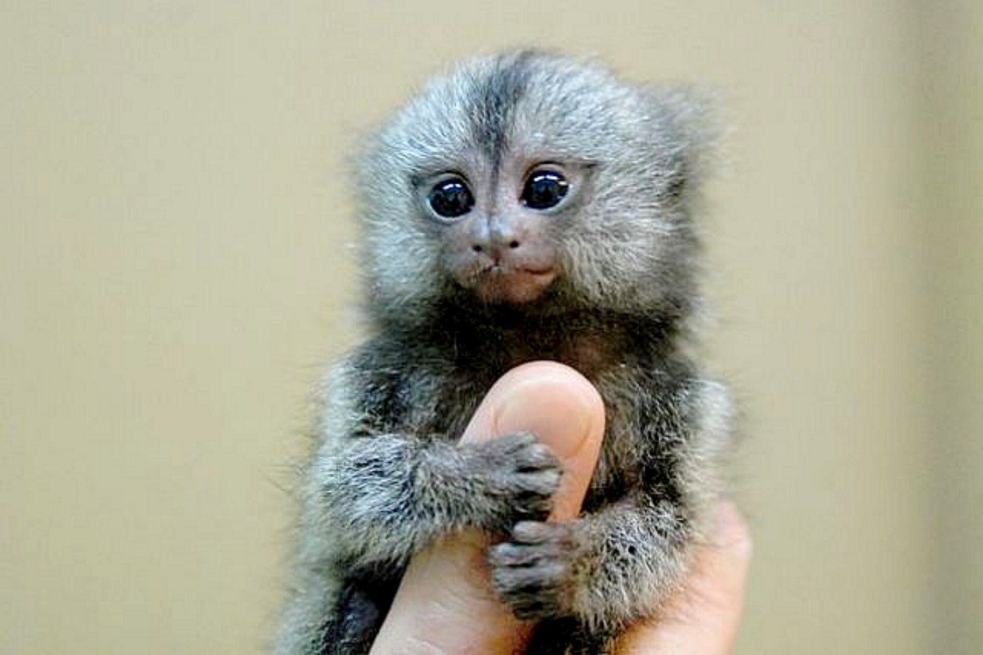 Finger Monkeys Pics - Finger Monkeys